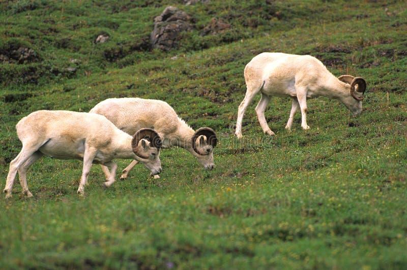 dall提供的公羊绵羊 免版税库存图片
