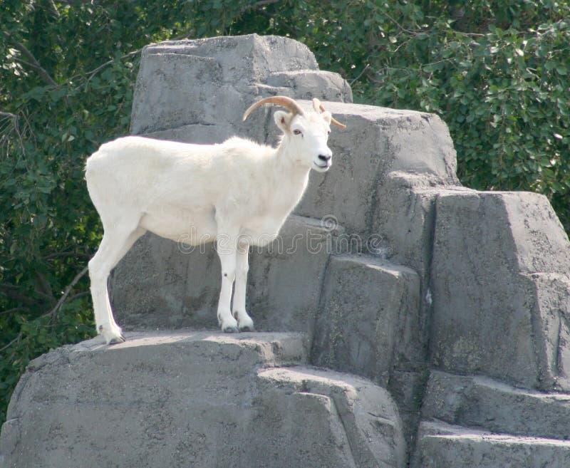 dall πρόβατα βράχου s στοκ φωτογραφίες