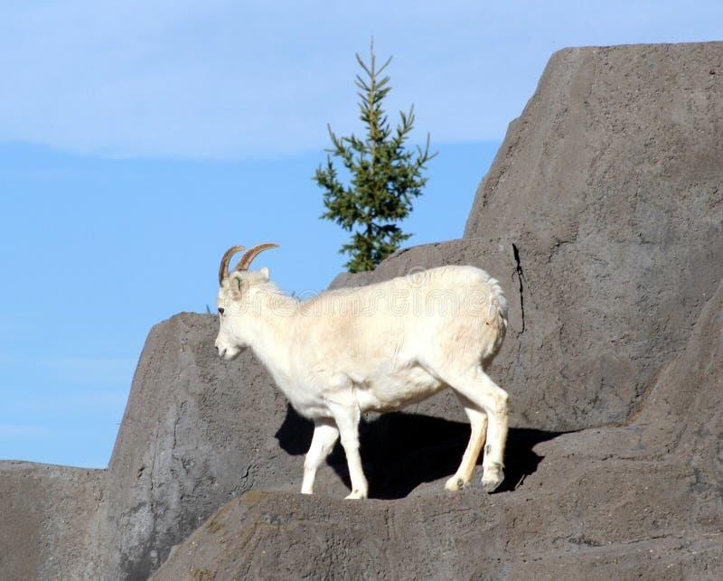 dall πρόβατα του s στοκ εικόνα με δικαίωμα ελεύθερης χρήσης