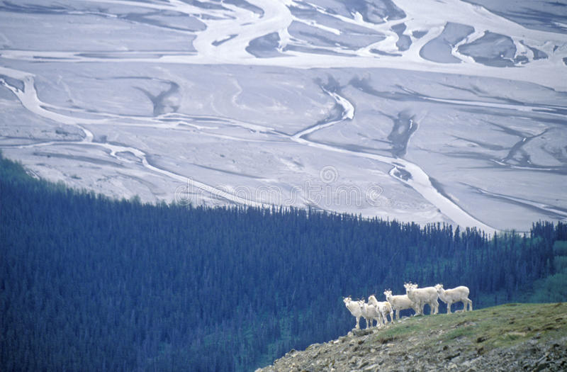 Dall får i St Elias National Park, Wrangell, Alaska arkivfoto