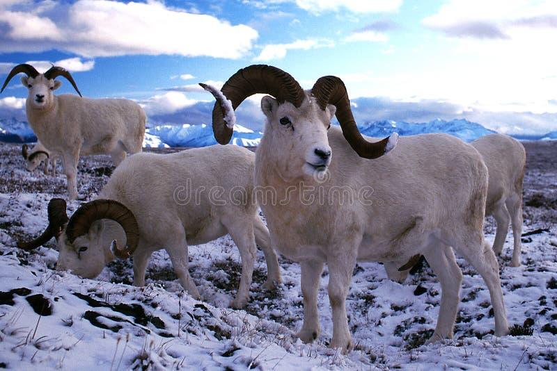 Dall-Schaf-RAMs im Schnee (Ovis dalli), Alaska, Denali nationales PA lizenzfreie stockfotos