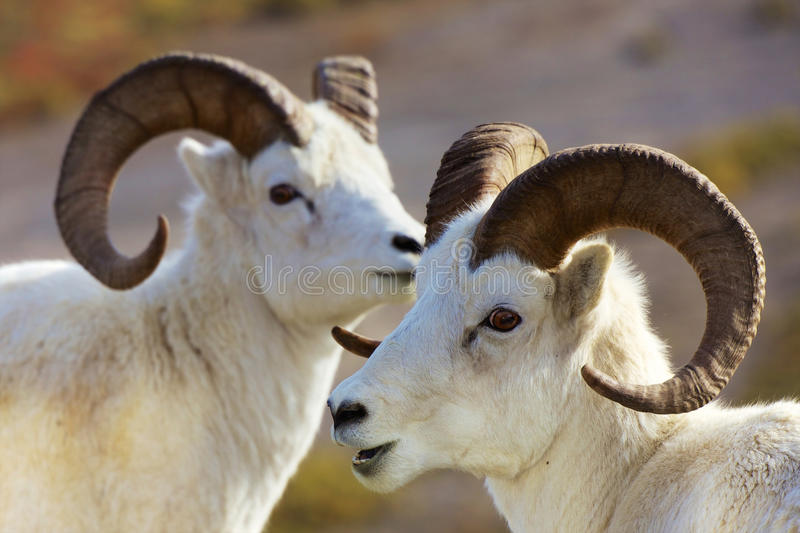 Dall-Schafe Alaska lizenzfreies stockbild