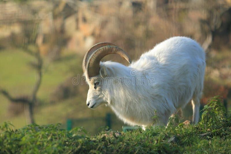 Download Dall sheep stock image. Image of grass, north, sheep - 27912981