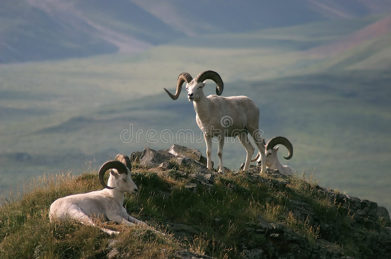 Dall Sheep in Alaska stock photos
