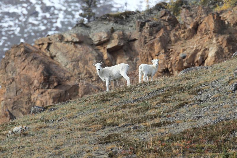 Dall Sheep (Orvis dalli)Sheep Mounten Alaska,USA. Dall Sheep (Orvis dalli)Sheep Mounten Alaska stock photo