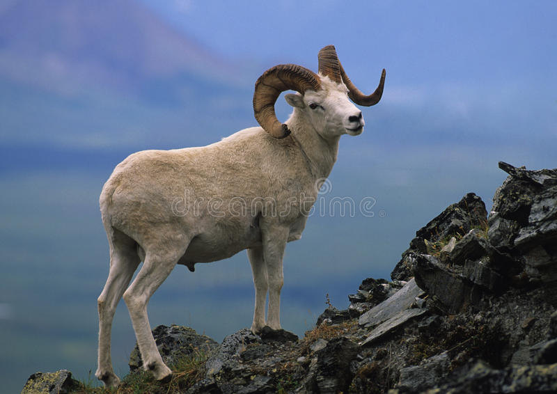 Dall Sheep Ram stock images