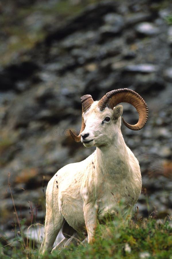 Dall Sheep Ram stock photography