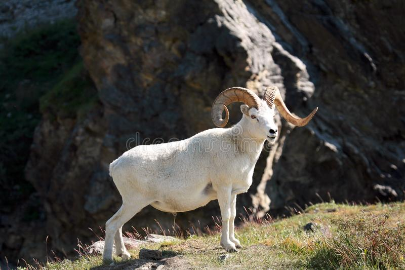 Dall sheep ram. Alaska. royalty free stock photo