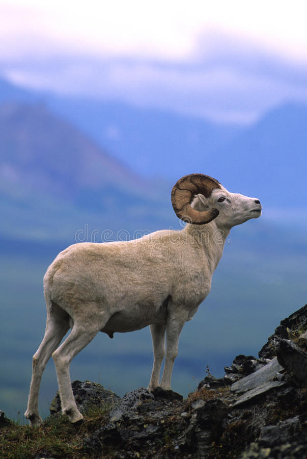 Free Dall Sheep Ram On Ridge Stock Images - 10452314