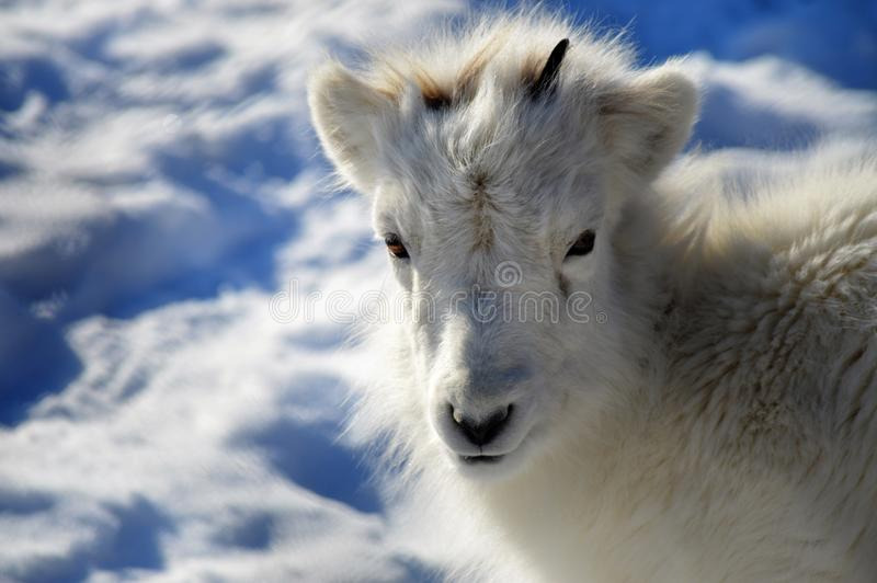 Dall Sheep. During the winter royalty free stock photos