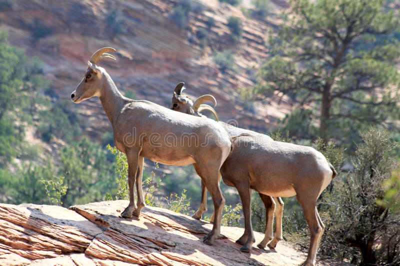 Dall Sheep in Zion National Park royalty free stock photo