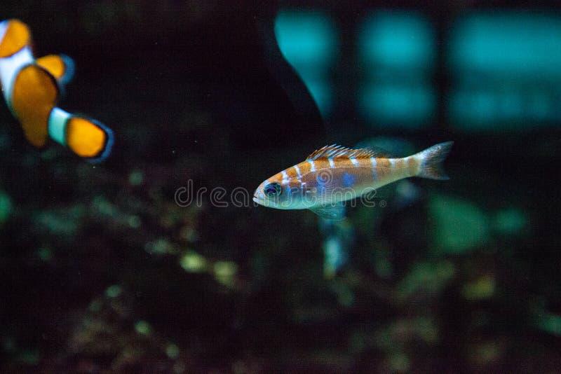 Dalli a strisce arancio e bianco di Catalina Goby Lythrypnus fotografia stock