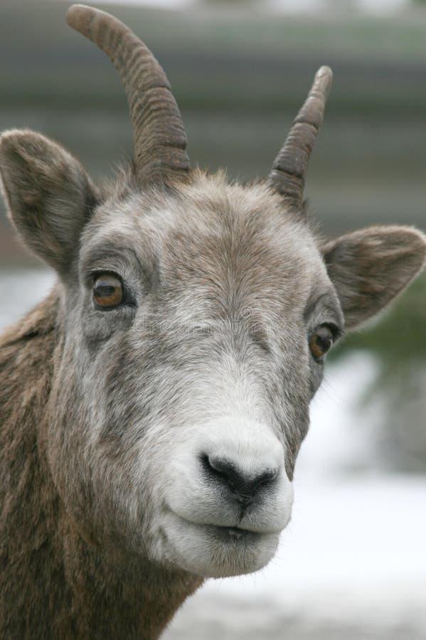 Dalls Schafe lizenzfreie stockfotografie