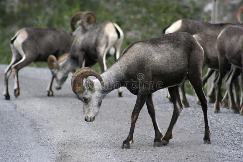 Dalls Schafe stockbilder