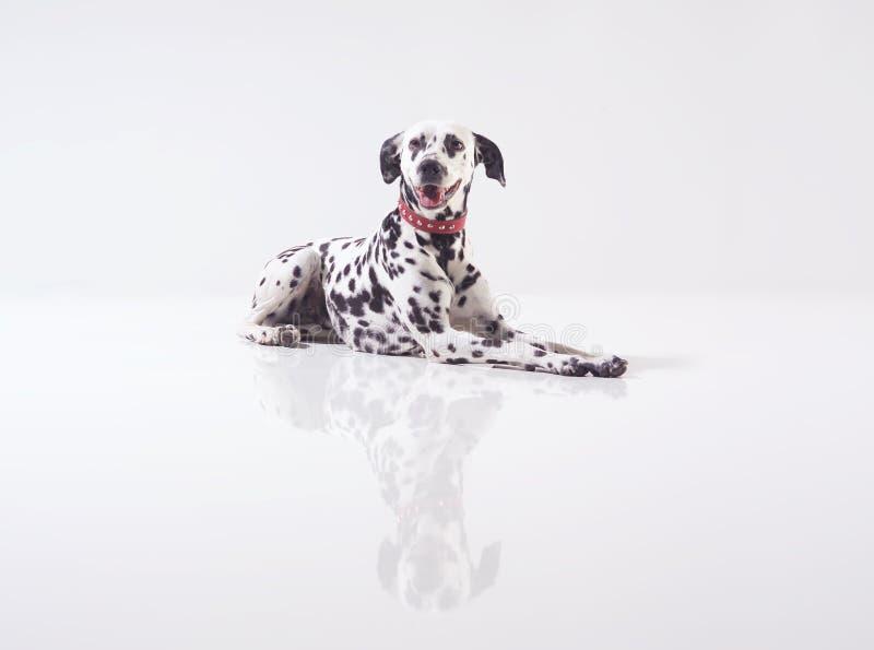 Dalmata auf Weiß lizenzfreie stockfotos