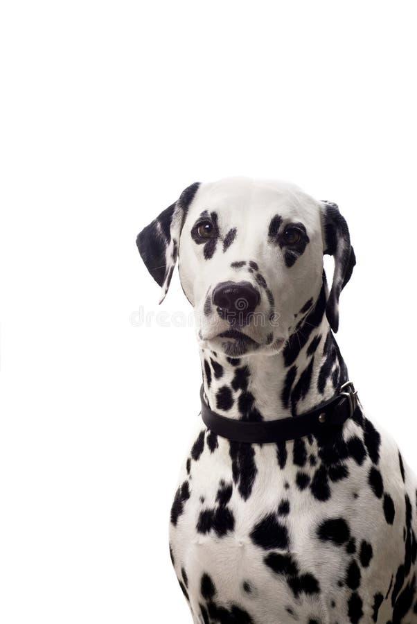 Download Dalmatian портрет стоковое фото. изображение насчитывающей ангстрома - 6861080