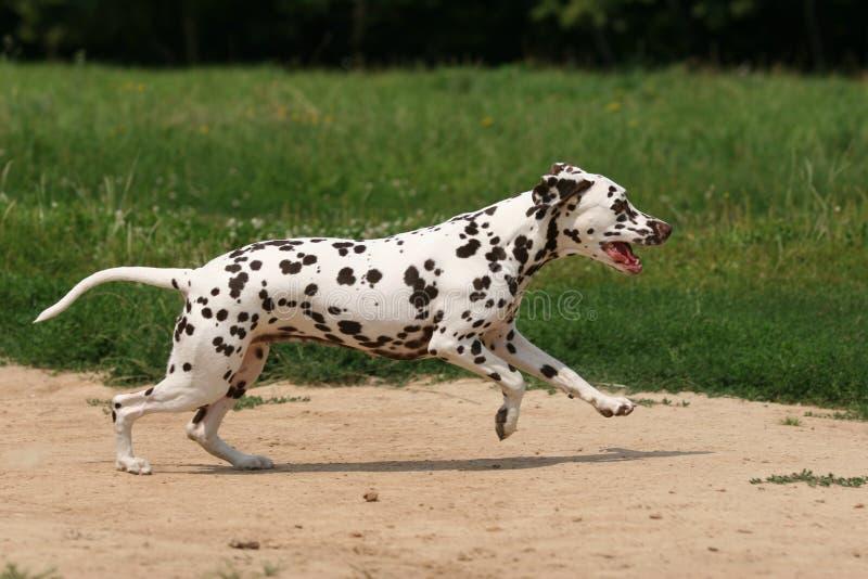 dalmatian трава стоковое фото