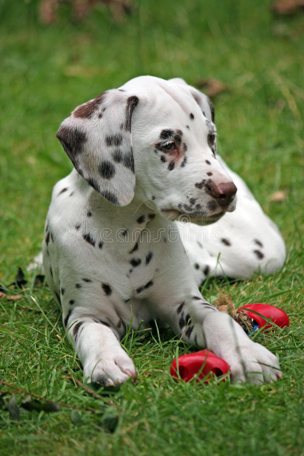 dalmatian щенок стоковое фото rf
