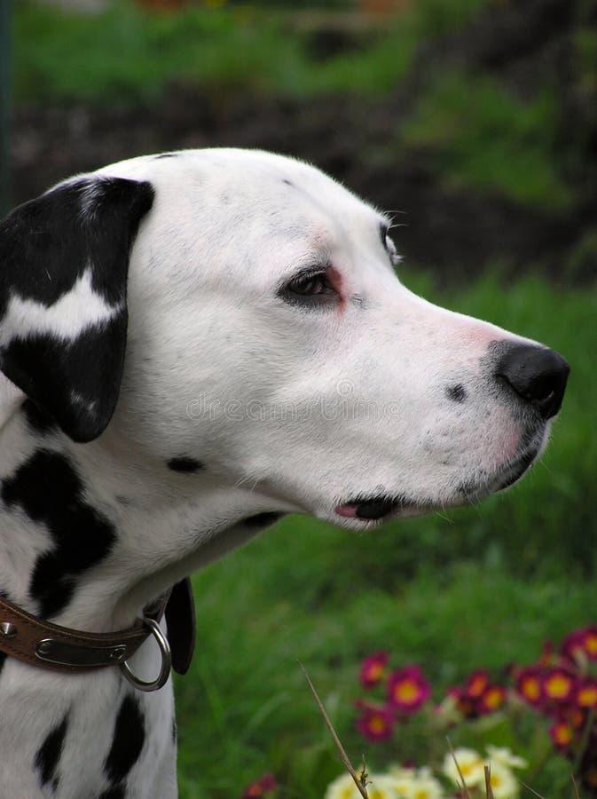 Download Dalmatian stock photo. Image of collar, spotted, bark, mascot - 106622