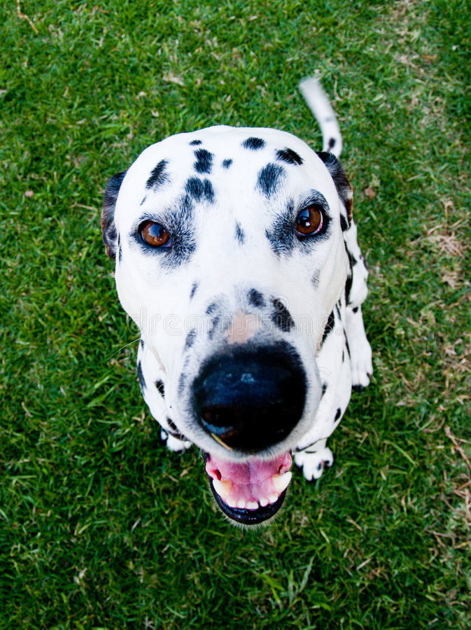 Dalmatian fotografie stock