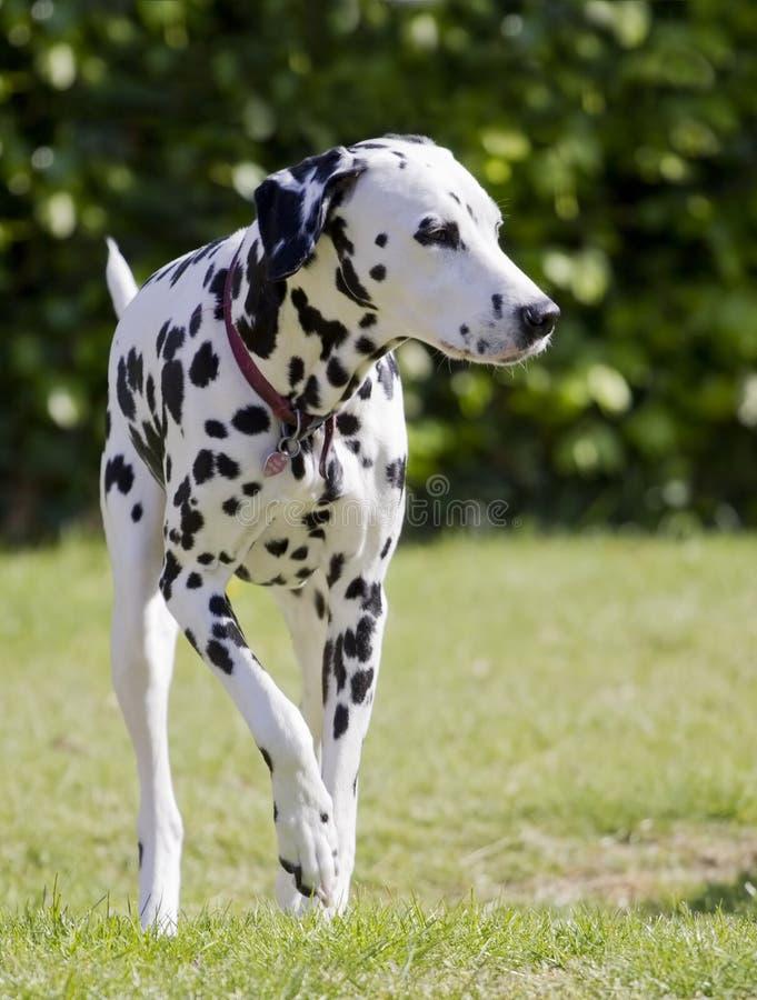 dalmatian zdjęcia stock