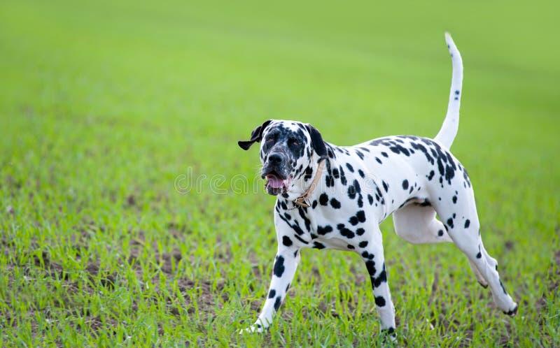 dalmatian obraz royalty free