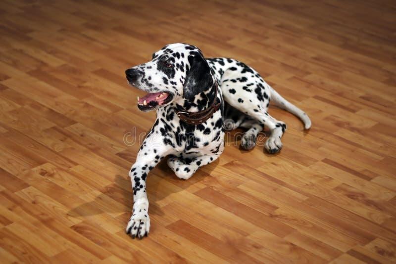Dalmatian foto de stock royalty free