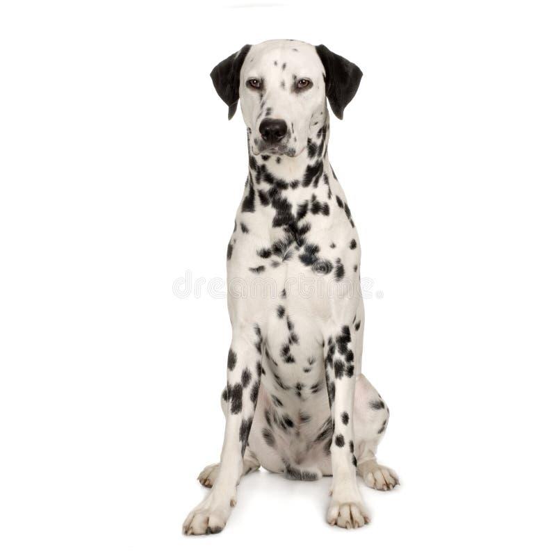 dalmatian royaltyfri foto