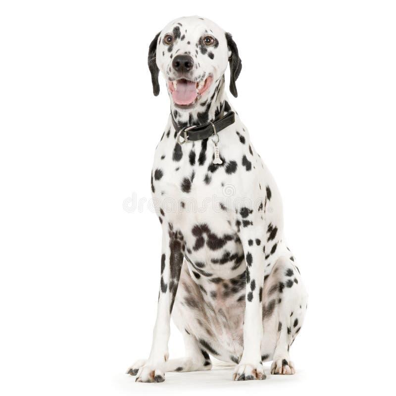 Dalmatian imagen de archivo