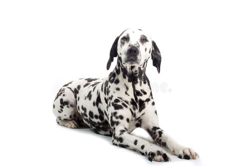 Dalmatian fotografia de stock