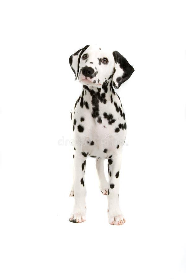 Dalmatian imágenes de archivo libres de regalías