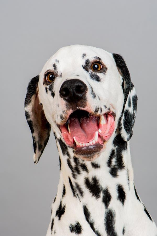 dalmatian стоковая фотография