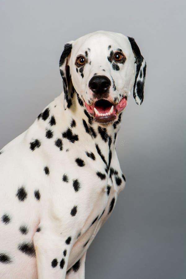 dalmatian стоковые изображения rf