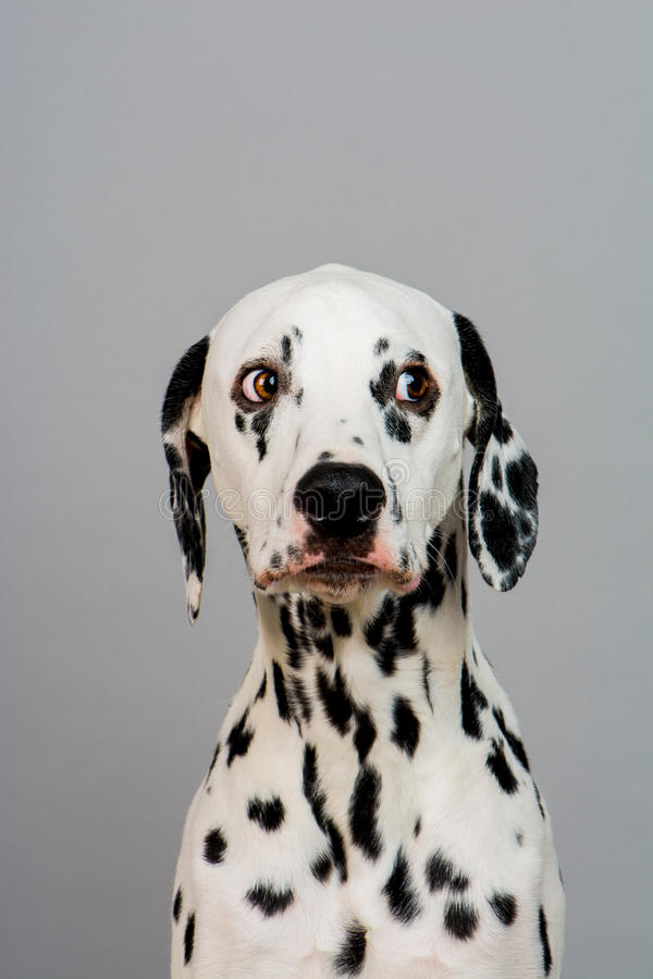 dalmatian стоковое фото