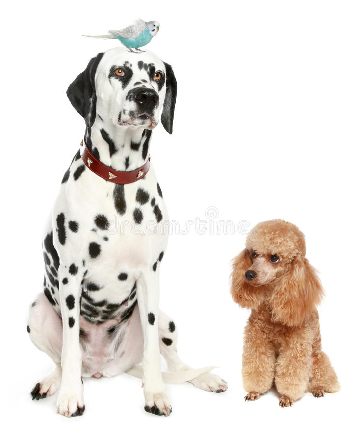 Dalmatian, apricot poodle and wavy parrot stock image