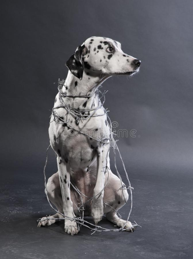 Dalmatian With Barbwire stock image