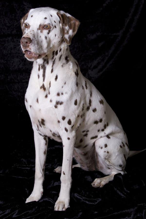 Dalmatian de assento foto de stock