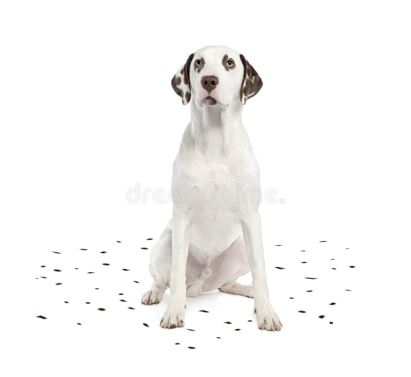 Dalmatian die zijn vlekken afwerpt royalty-vrije stock afbeelding