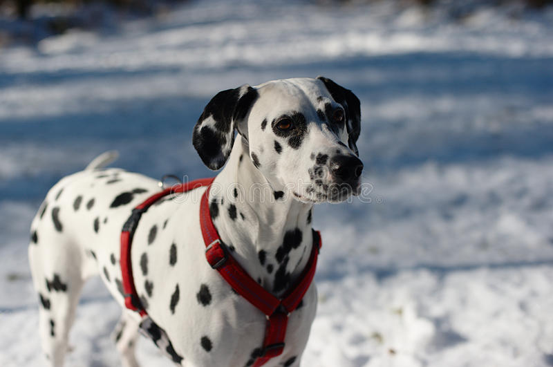 Dalmatian Dog in the Snow. Without his big mouth open this dalmatian dog looked quite peacefully royalty free stock photo