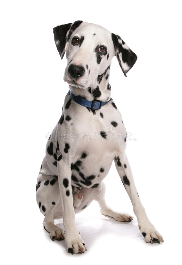 Dalmatian Dog. Sitting in a Studio royalty free stock images