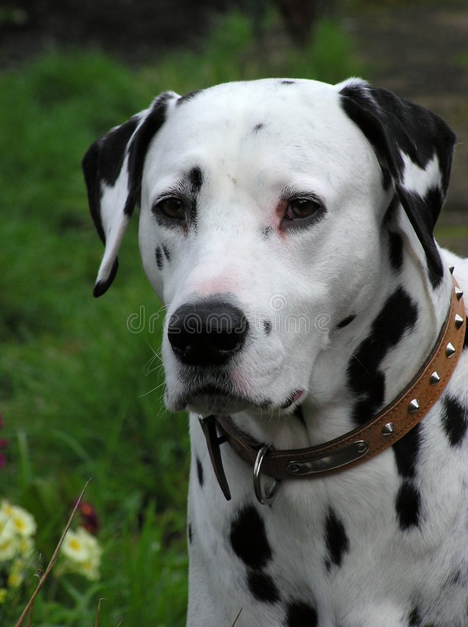 Free Dalmatian Dog Royalty Free Stock Photos - 206028