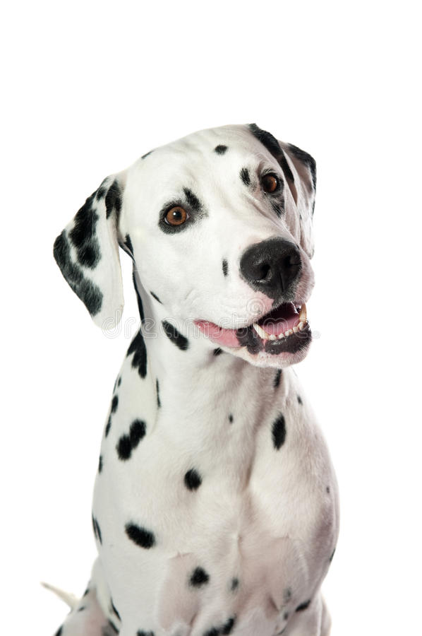 Dalmatian dog. Portrait on white background