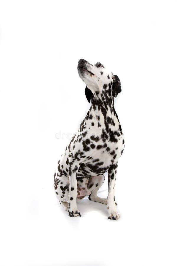 Dalmatian dog stock photography
