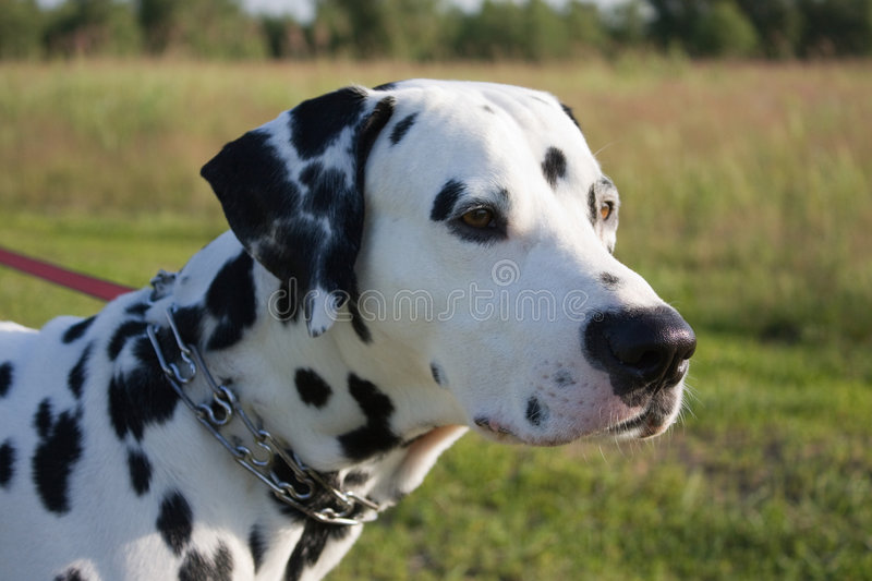 Download Dalmatian Dog Royalty Free Stock Photography - Image: 6425267