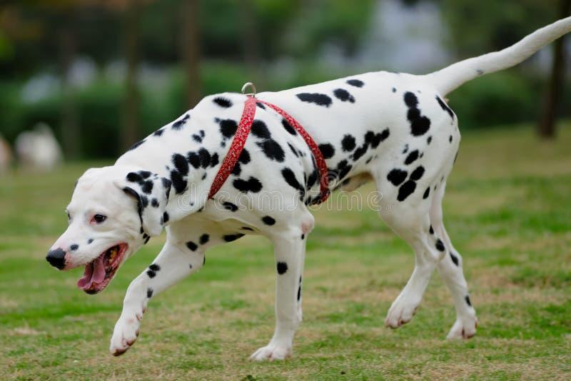 Dalmatian dog royalty free stock images