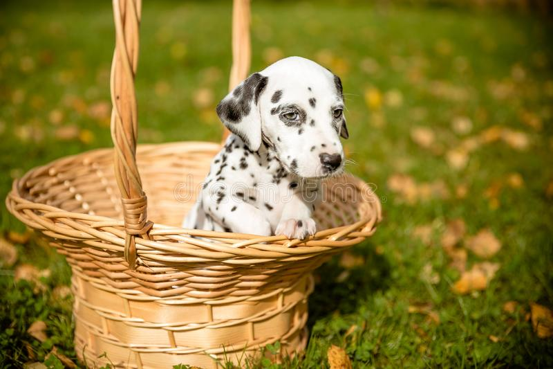 The Dalmatian dog. Dog on the background of autumn foliage.Dalmatian puppy in a wicker basket in autumnal lawn. Copy stock photography