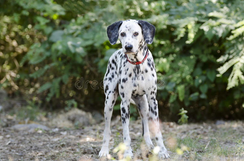 Dalmatian Dog. Is a beautiful Dalmatian standing outdoors in nature amongst the trees in the forest royalty free stock image