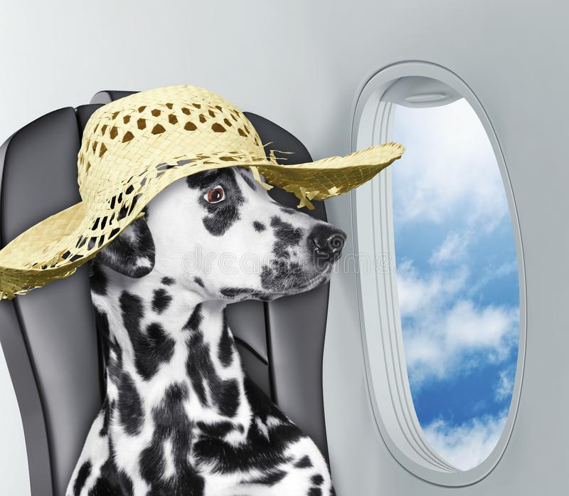 Dalmatian dog on board of airplain looking out the window at the clouds royalty free stock photos