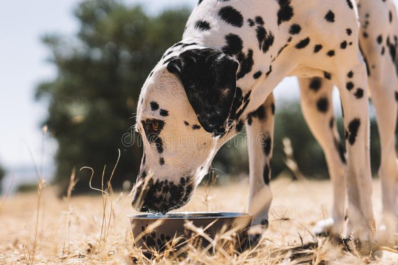 Dalmatian dog in the field happy royalty free stock photo