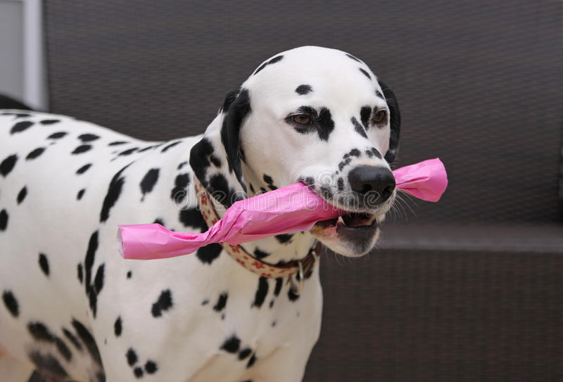 Dalmatian dog with a gift